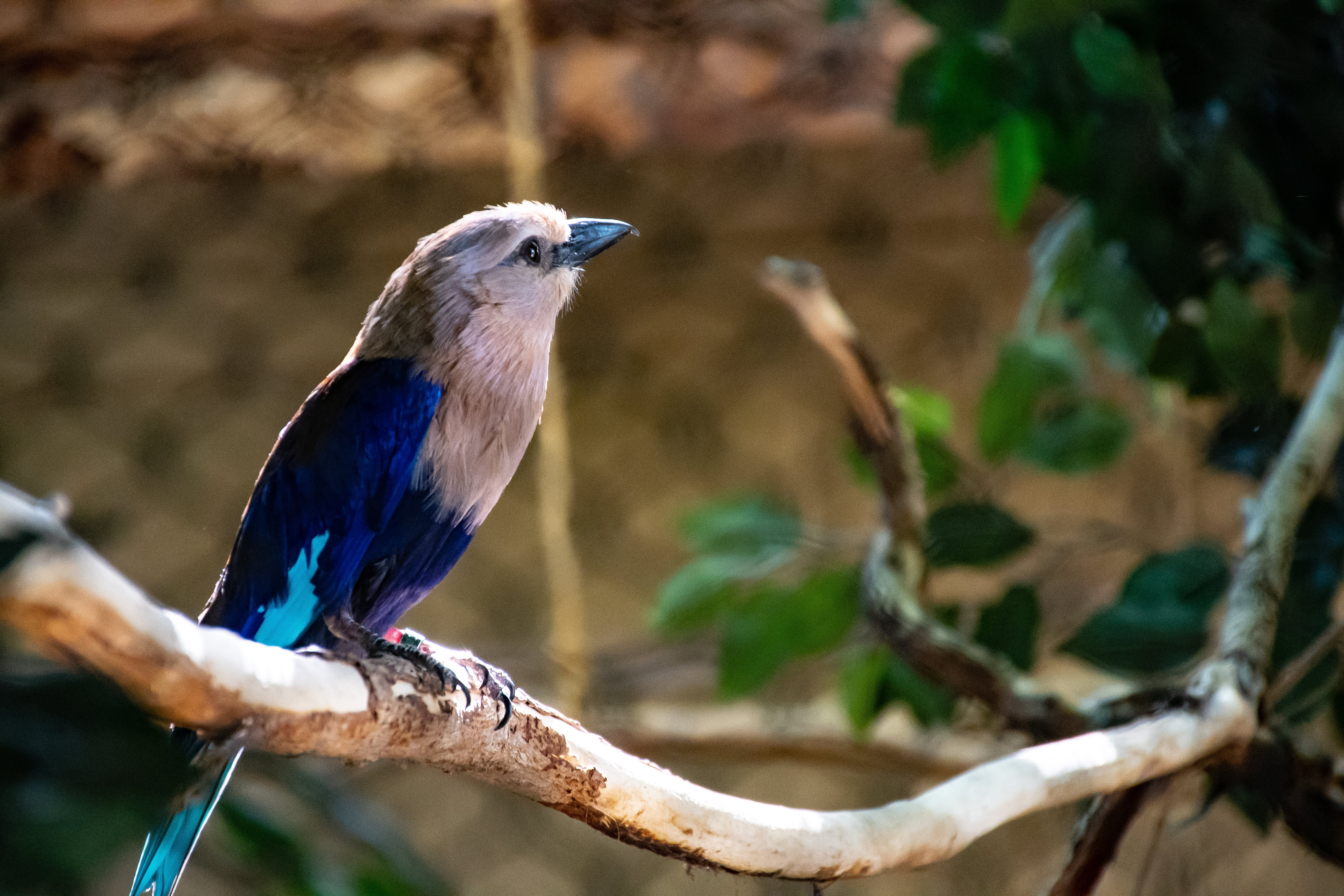 Blue and White Bird Perched on Brown Tree Twig