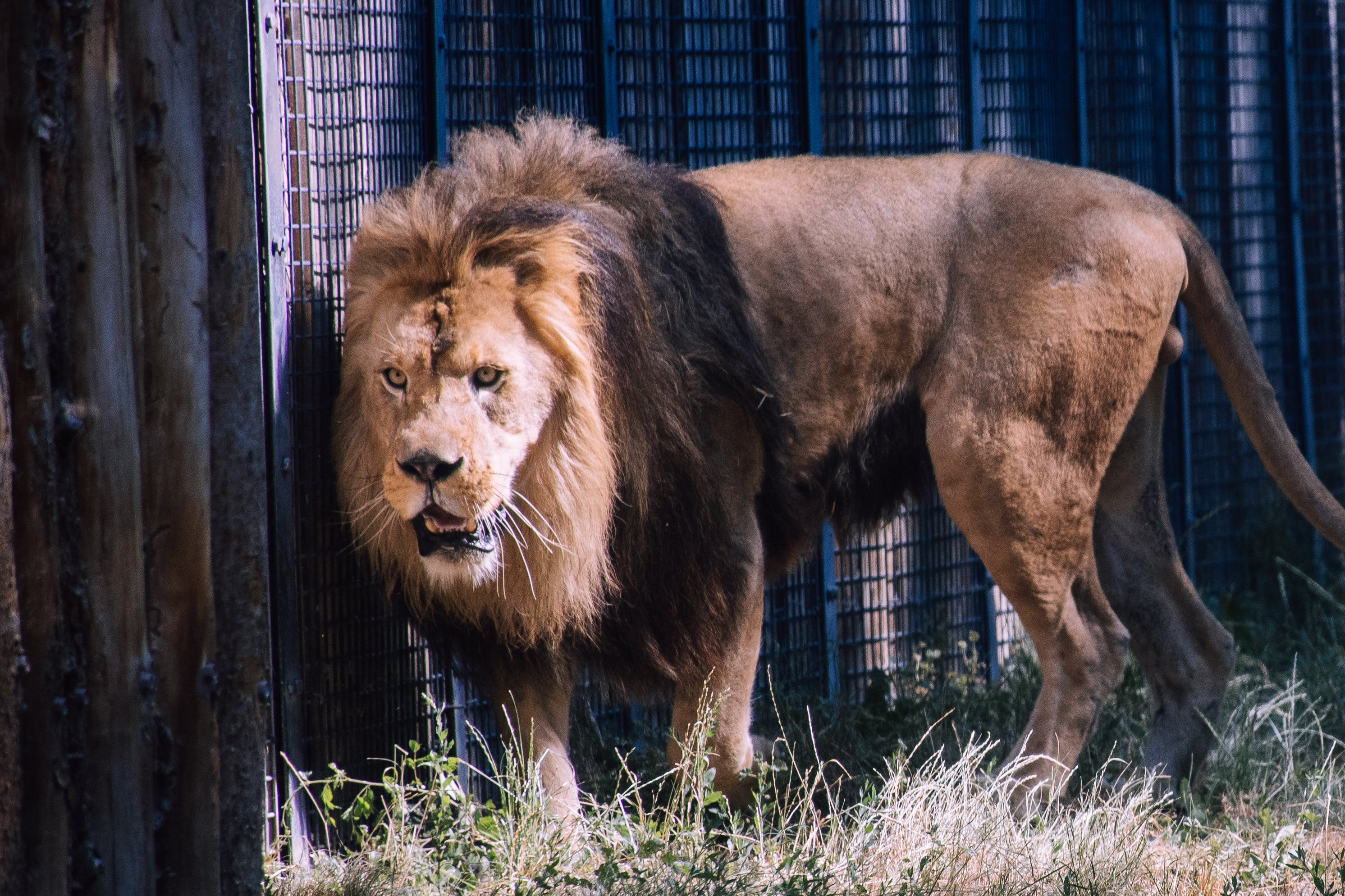 Photo of Lion Inside Cage