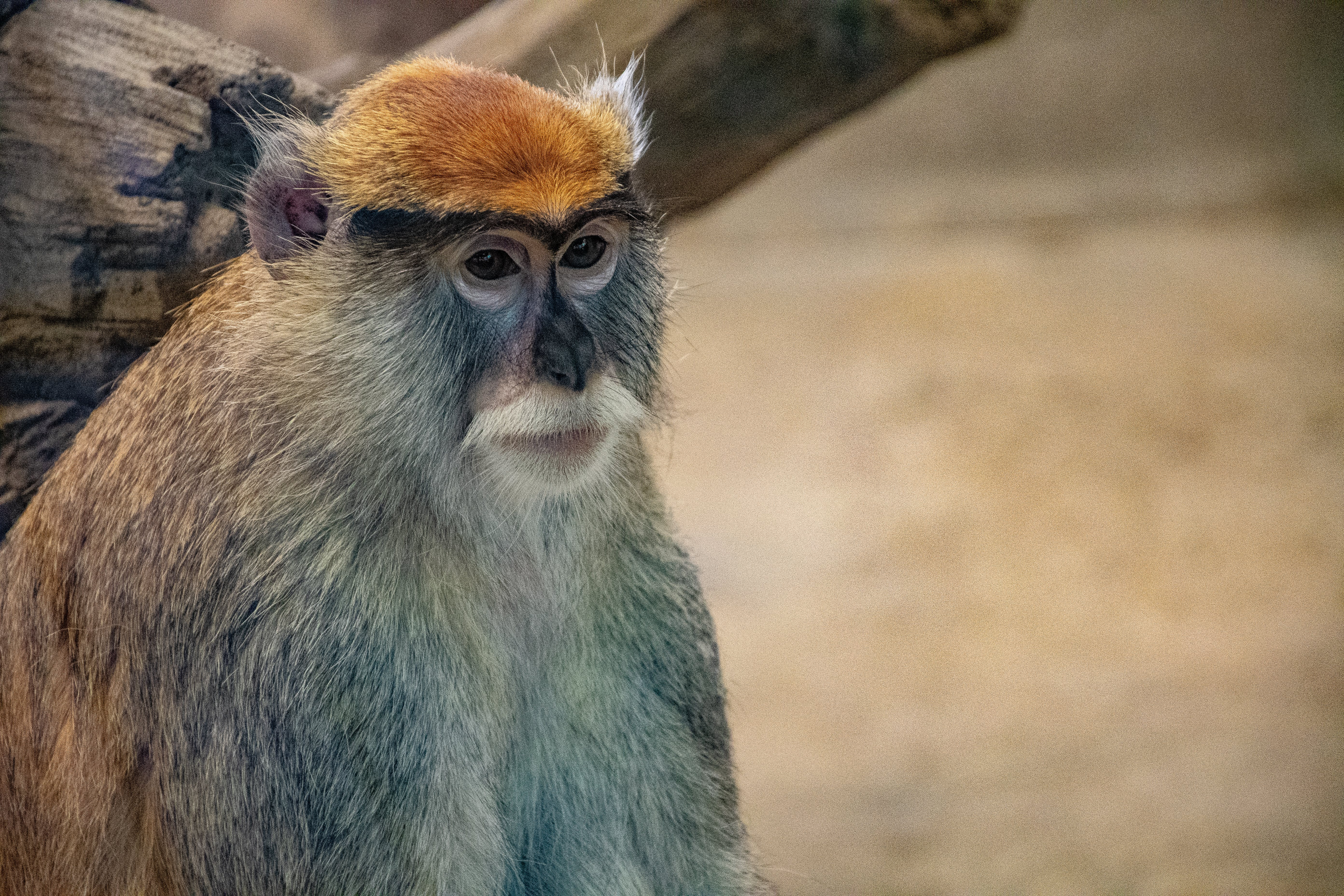 Selective Focus Photo of Grey Monkey