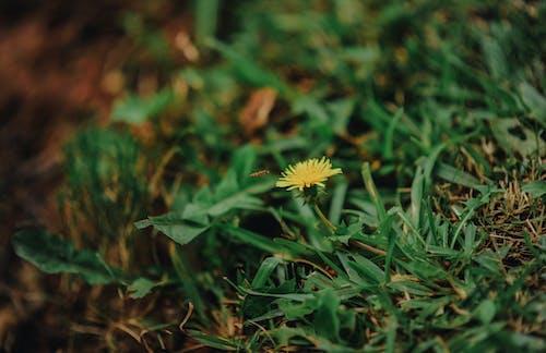 Yellow Dandelion Closeup Photography