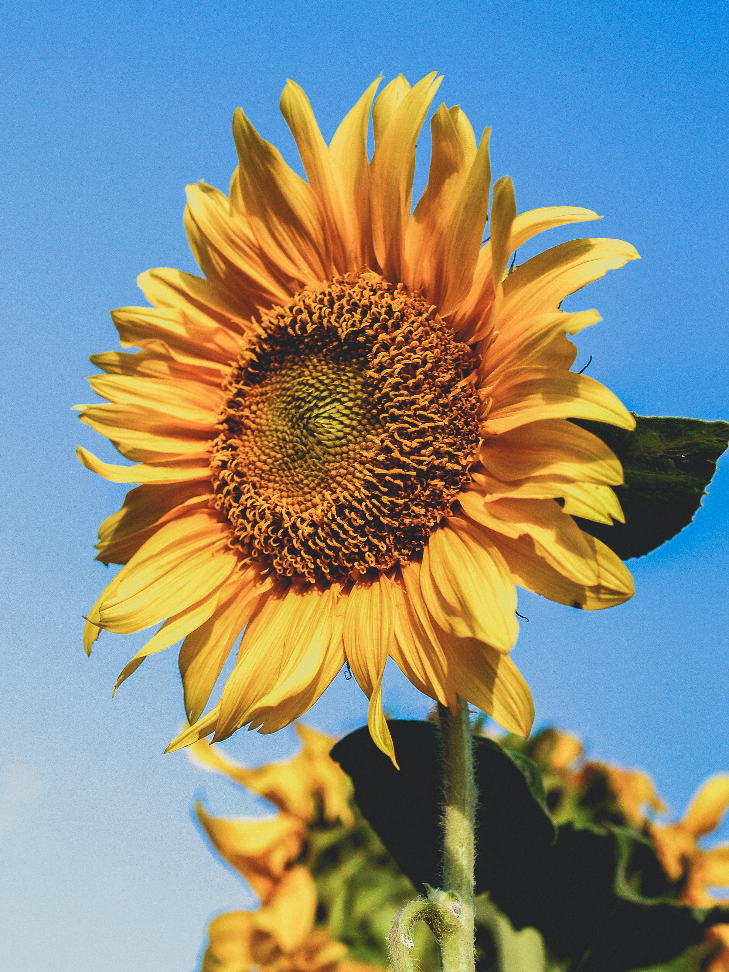 Photo Yellow Sunflower