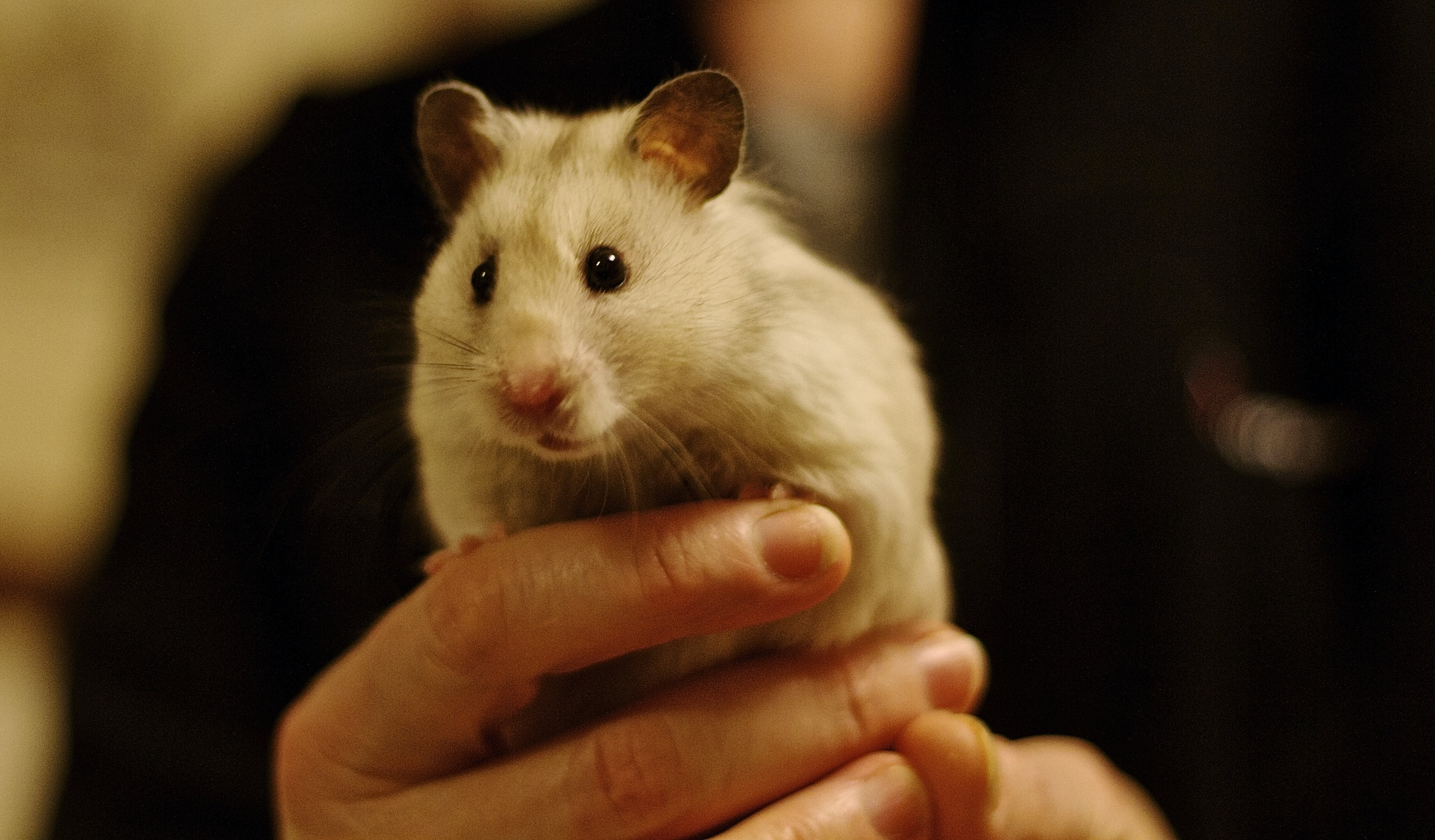 Free stock photo of pet hamster eyes cute syrianhamster cream