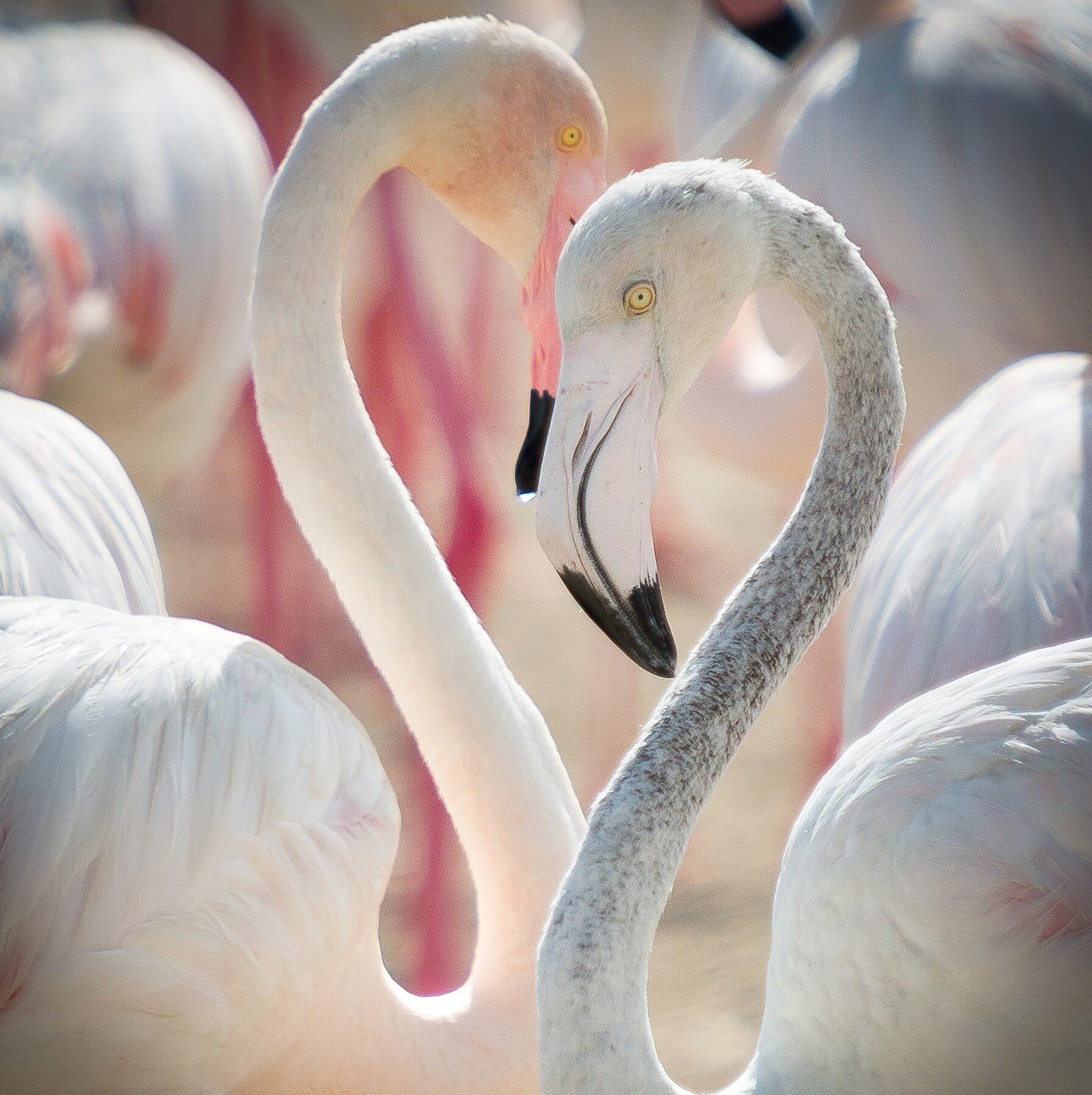Free stock photo of flamingo, flamingoes, love, wildlife