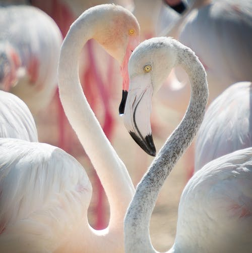 Photos gratuites de amour, faune, flamant, flamants roses