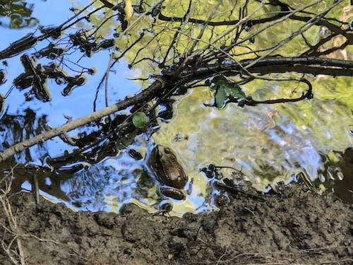 Gratis stockfoto met amfibie, camouflage, glibberig, kikker