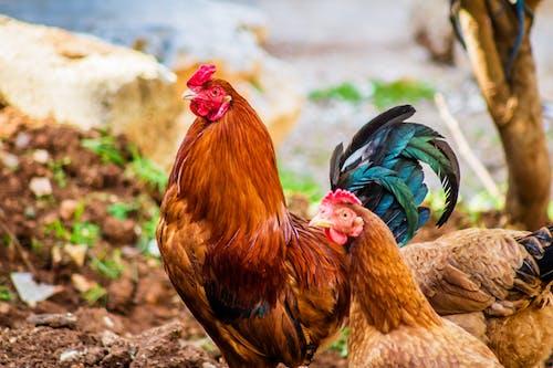 Imagine de stoc gratuită din animale, animale domestice, cocoș, culori