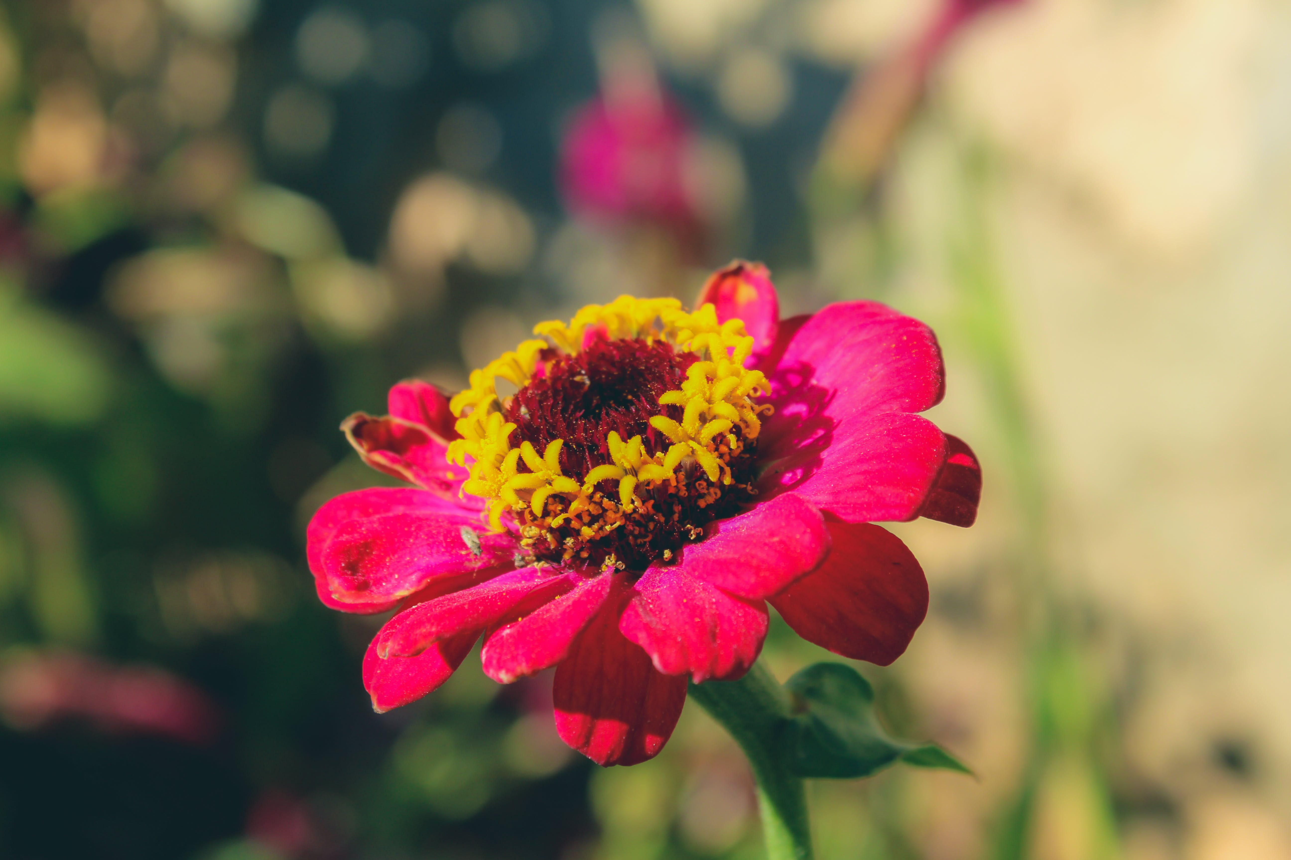 Selective Focus Photography of Red Zinnia Flower
