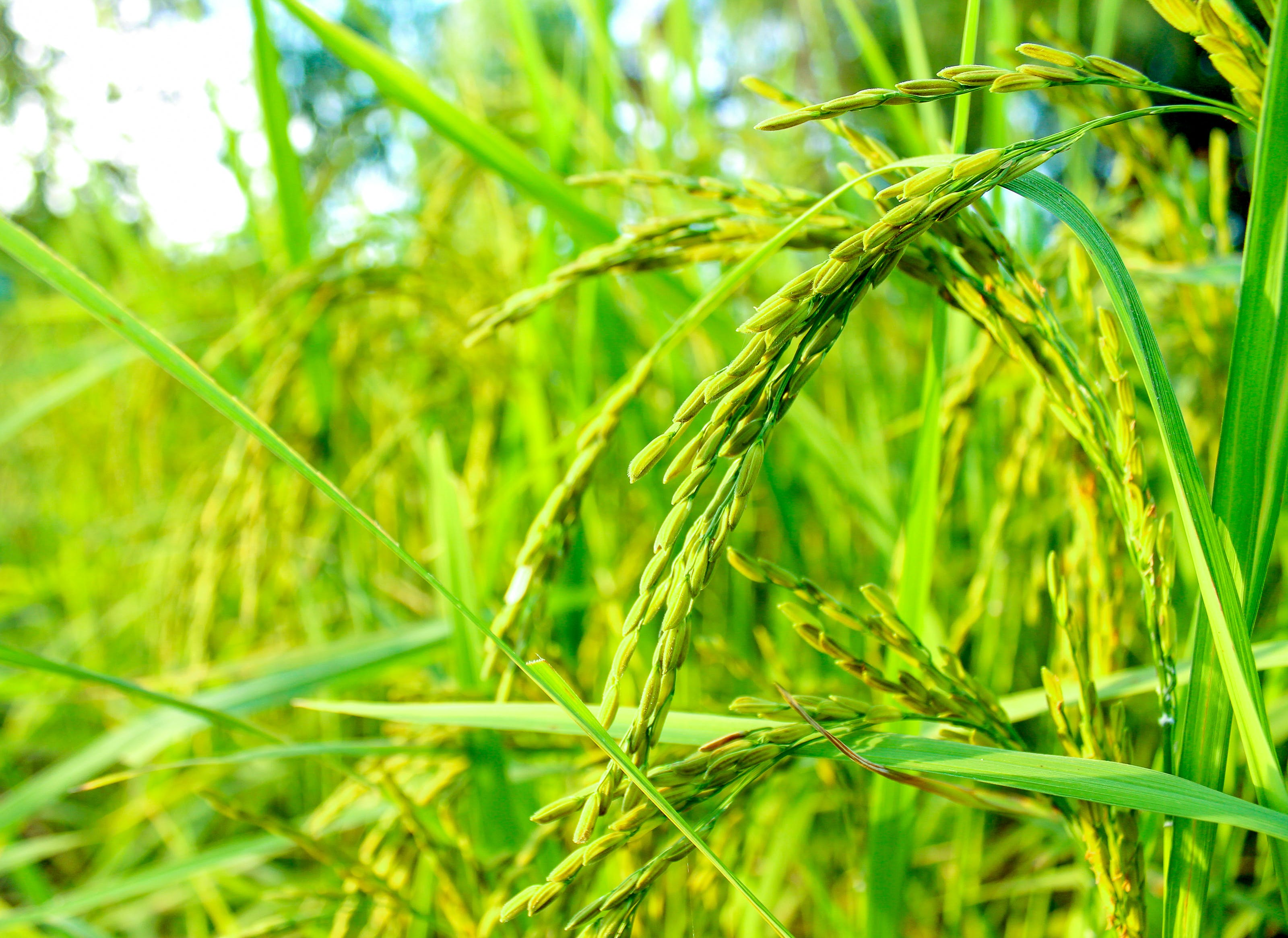 Free stock photo of agriculture, asia, Asian, background