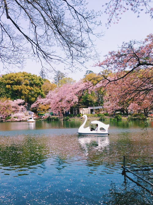 Free stock photo of boat, cherry blossoms, nature