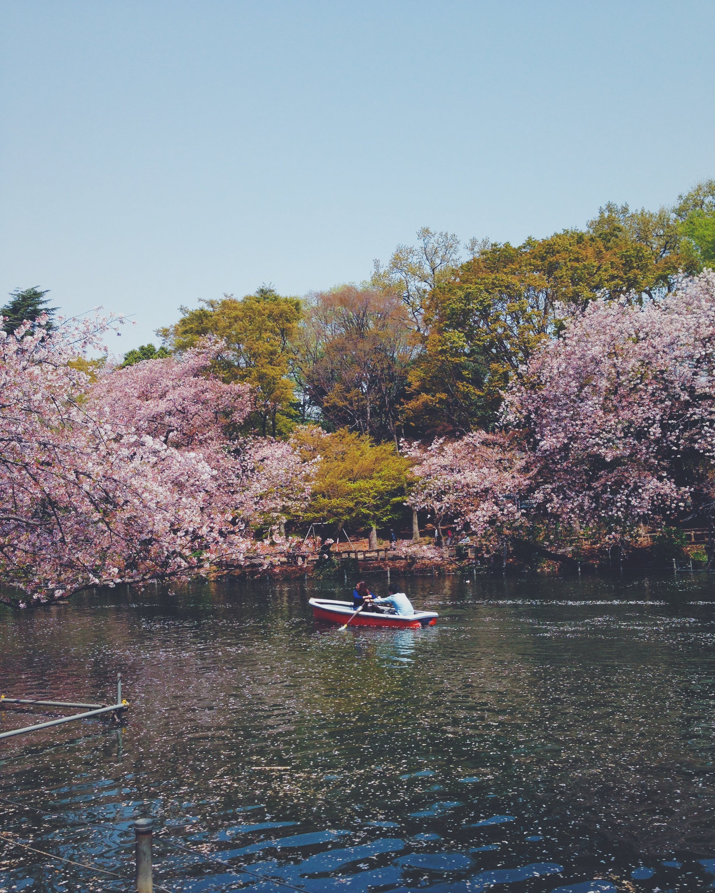 Free stock photo of boat, cherry blossoms, couple, love