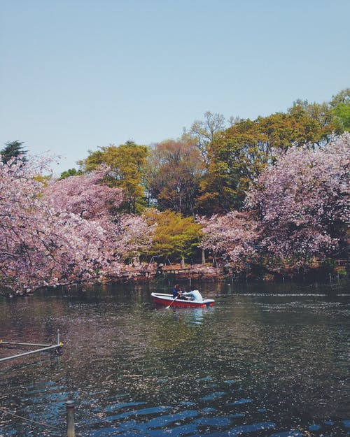 Free stock photo of boat, cherry blossoms, couple