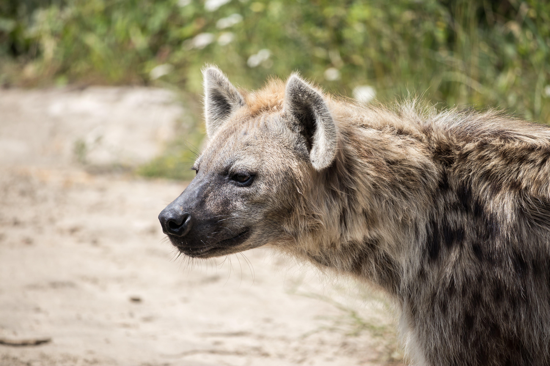 Free stock photo of hyaena, #wildlife