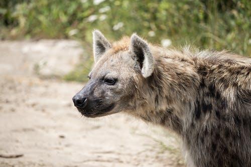 Foto stok gratis #margasatwa, anjing hutan