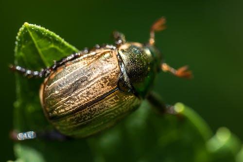 Kostenloses Stock Foto zu fokus, insekt, juni käfer, käfer