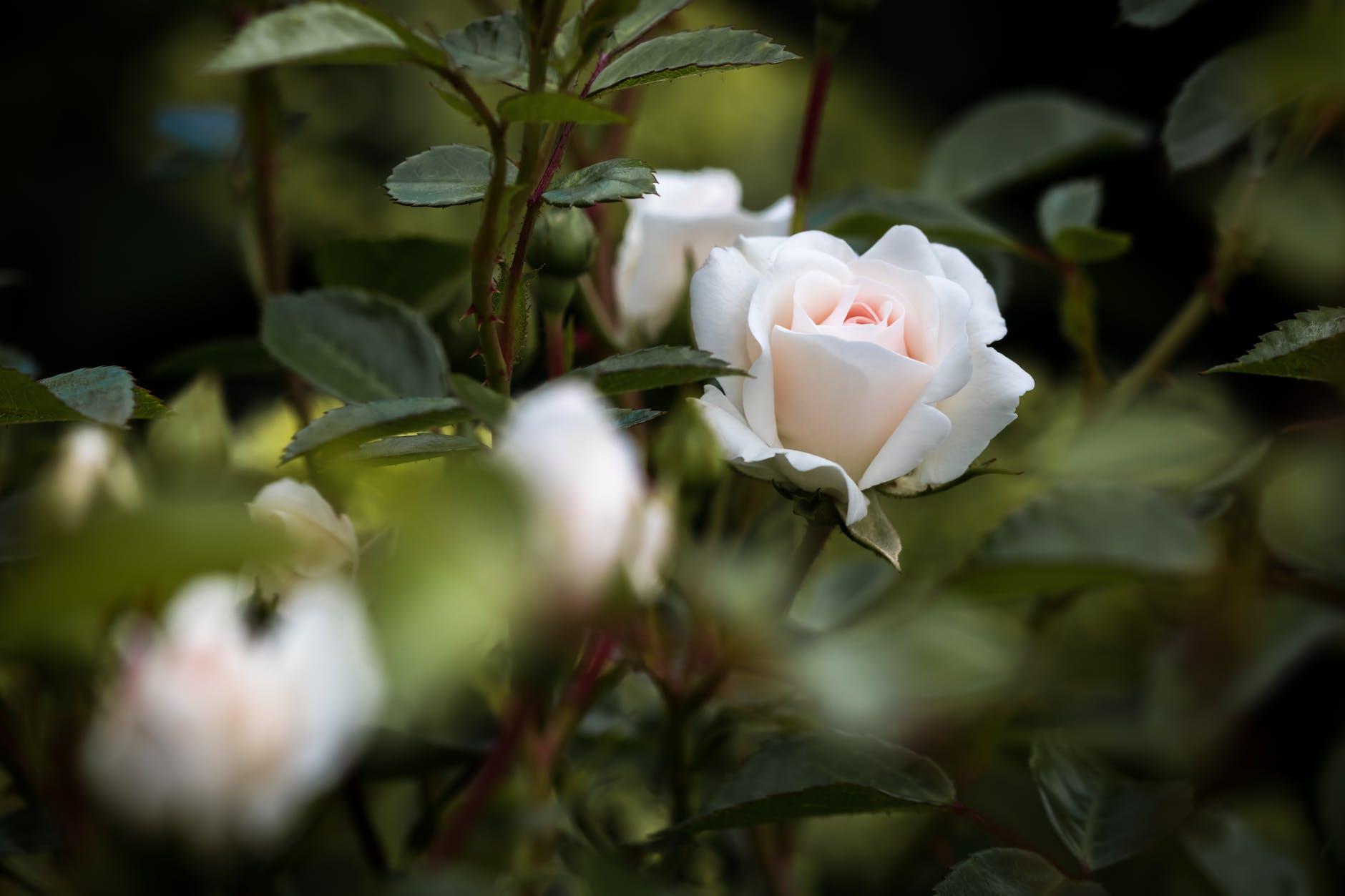 Bunga mawar putih asli