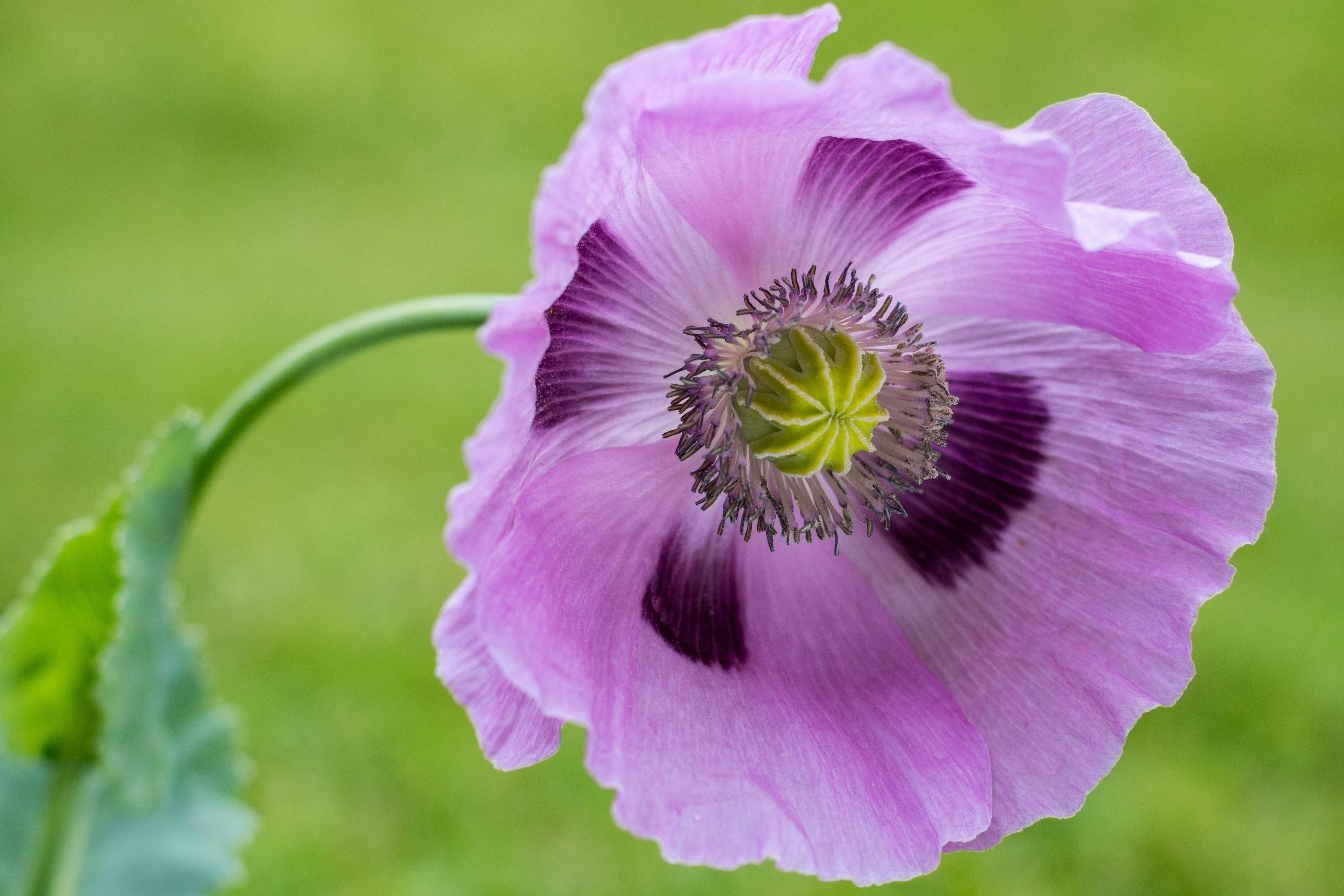 Free Stock Photo Of Flower Nature Pink Poppy