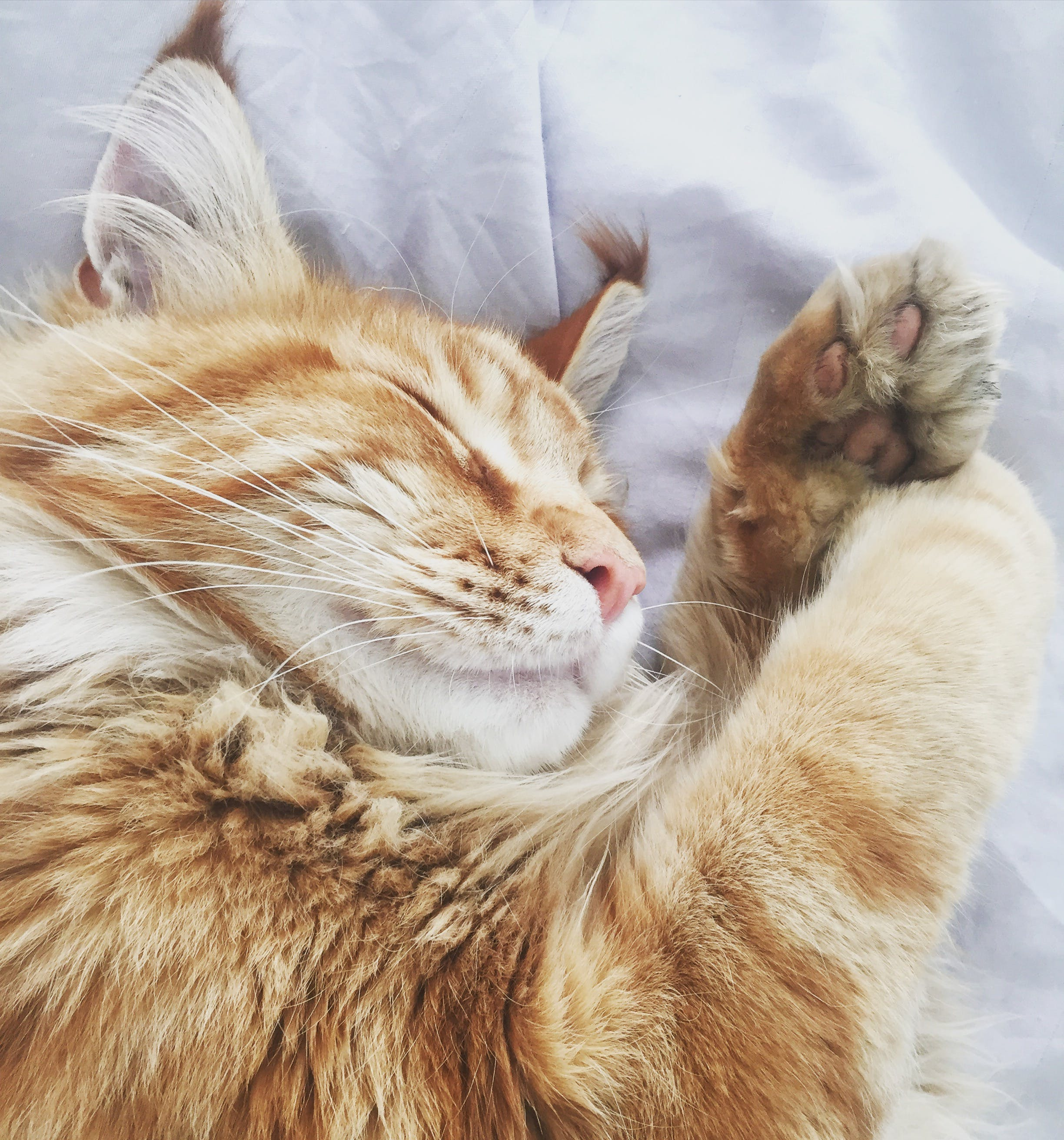 Orange Tabby Cat on White Fabric Bed Cover