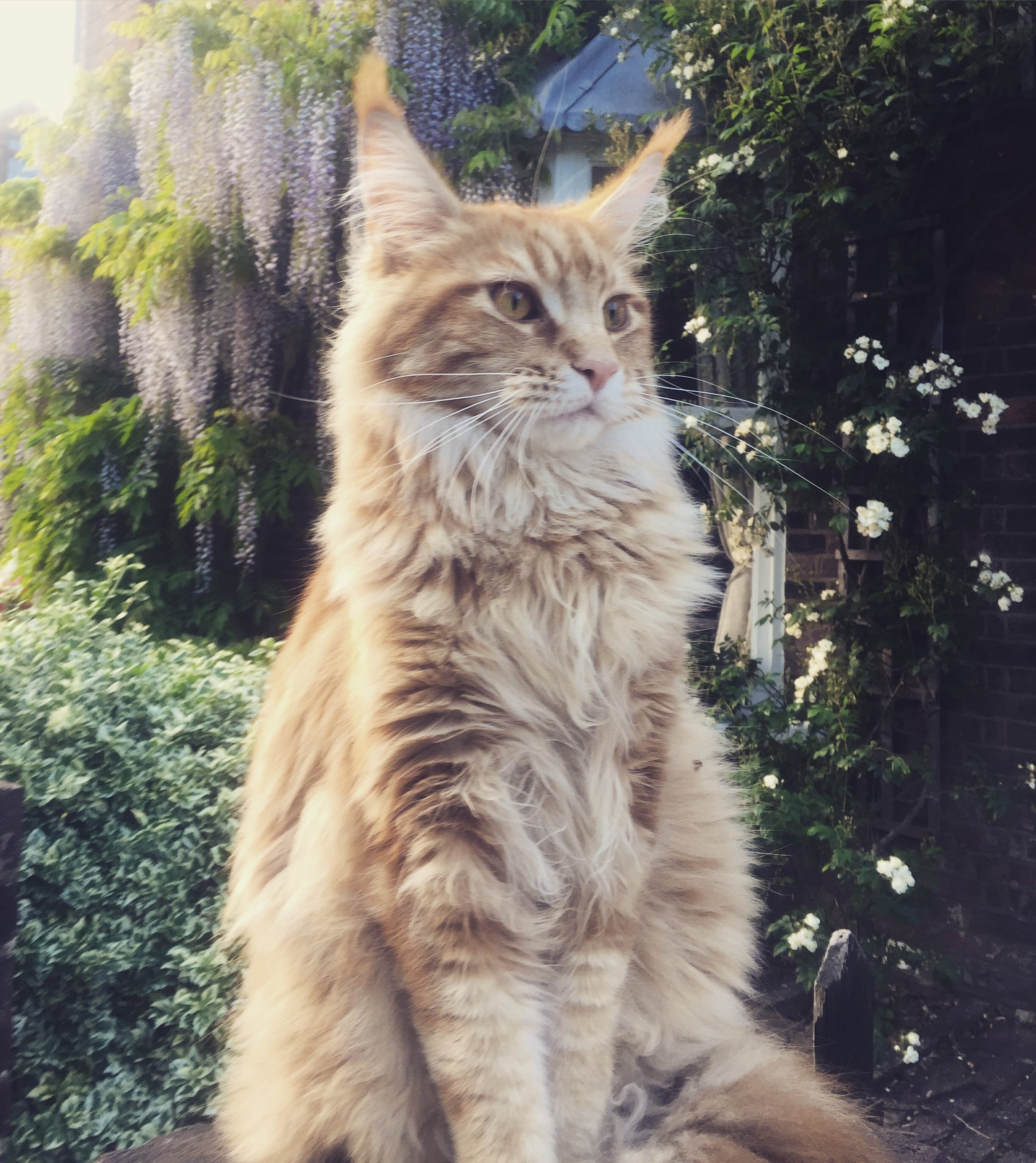 Free stock photo of ginger cat, maine coon, majestic, wisteria
