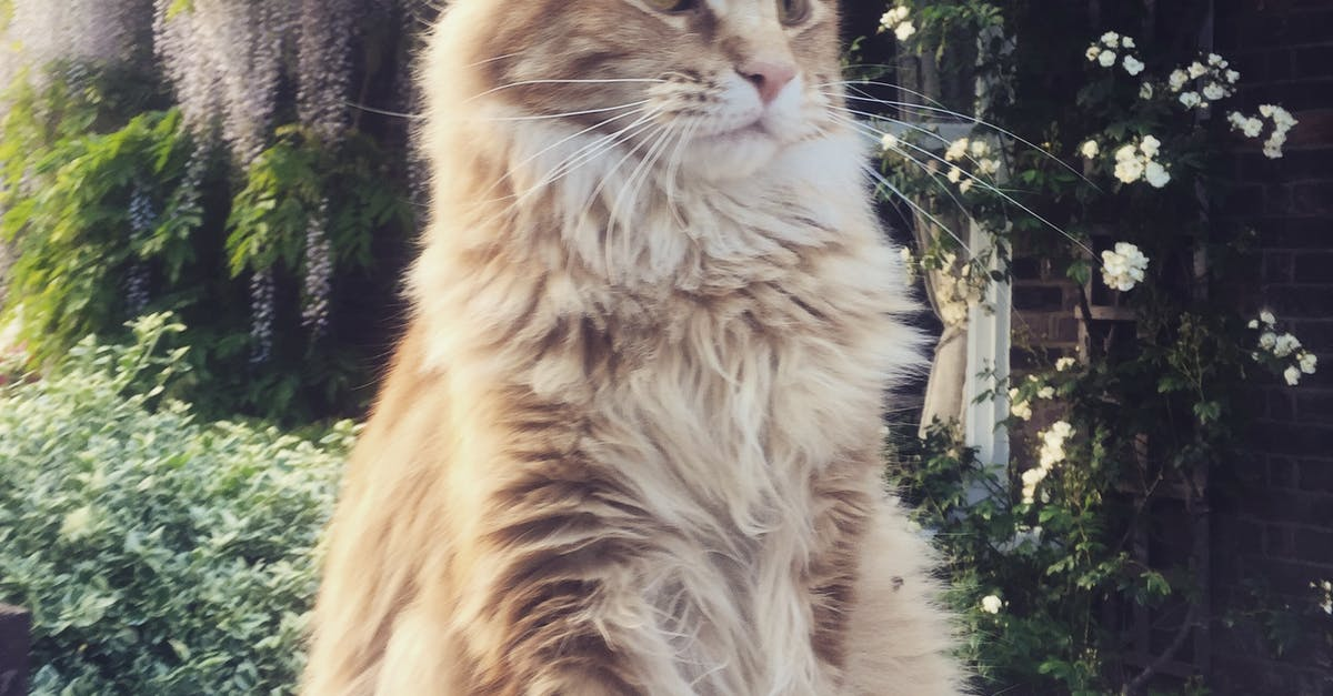 Free Stock Photo Of Ginger Cat Maine Coon Majestic