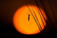 silhouette, insect, grasshopper