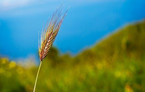 Крупный план бурой пшеницы
