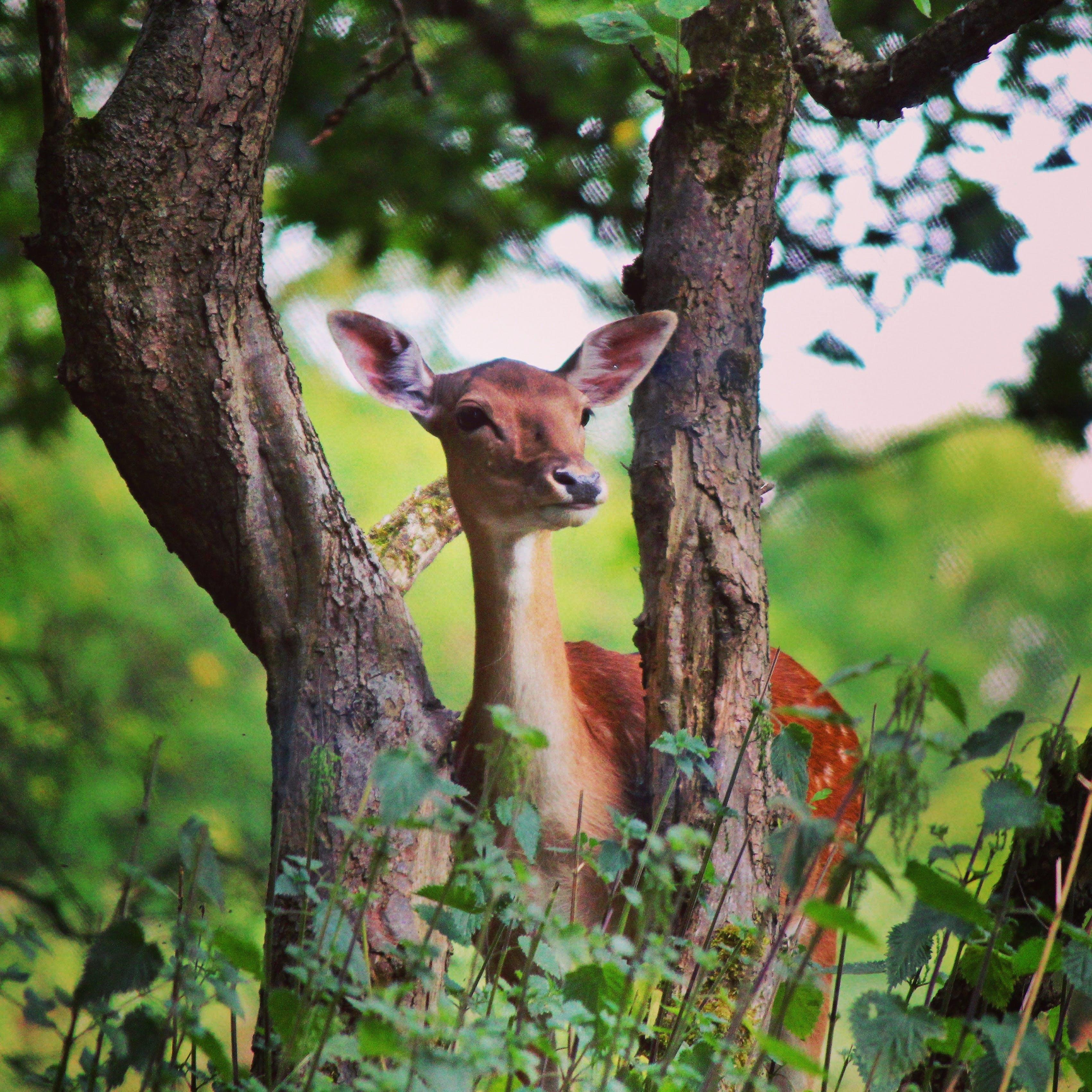 Free stock photo of #deer #doe #wildlife #nature #forest #cannockchase