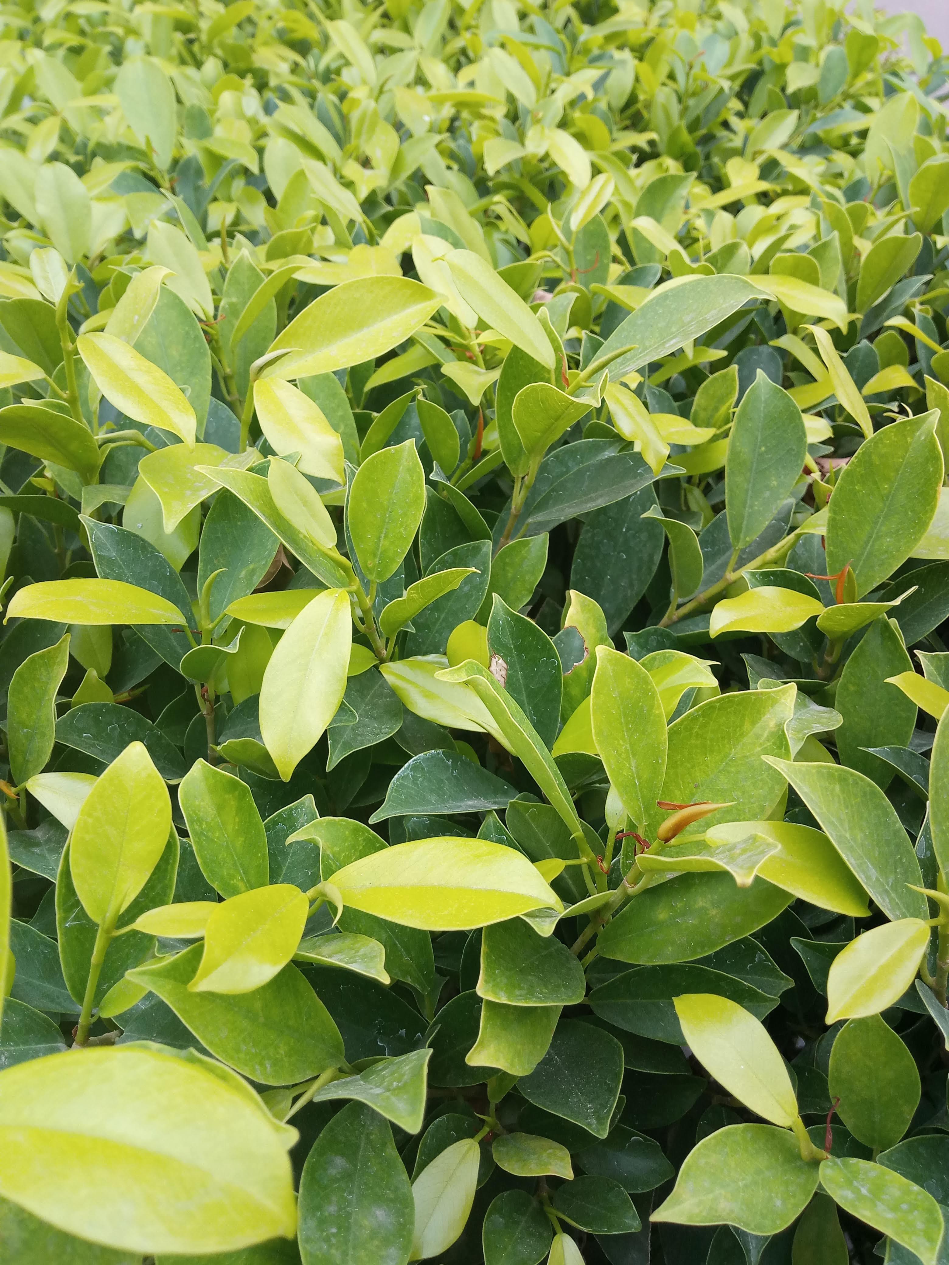 Kostenloses Stock Foto zu blatt, blätter, dunkelgrün, dunkelgrüne pflanzen