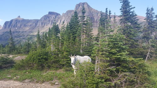 Free stock photo of forest, Glacier Park, mountain goat, nature