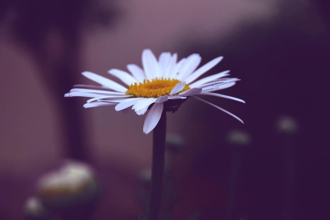 Beyaz Ve Sarı Papatya çiçeği Fotoğrafı