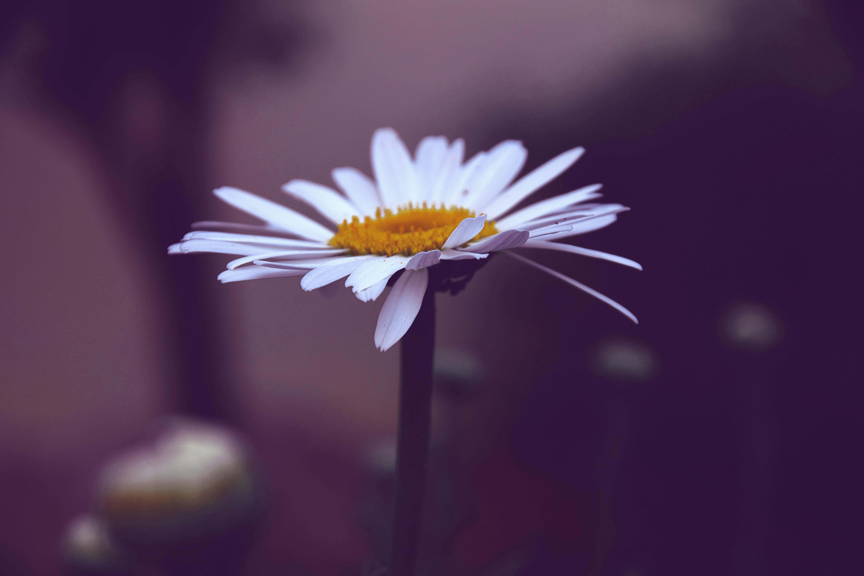 200 amazing daisy photos pexels free stock photos fetching more photos izmirmasajfo