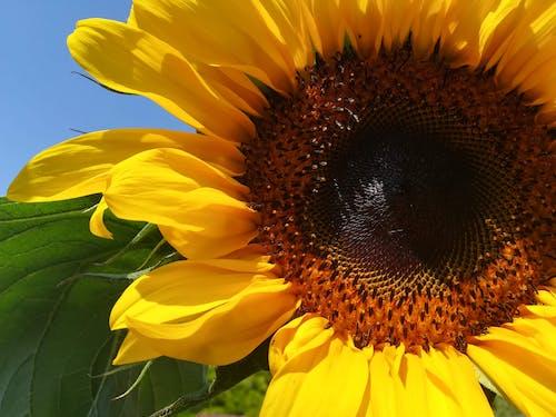 Бесплатное стоковое фото с желтый, красивые цветы, подсолнечник, природа