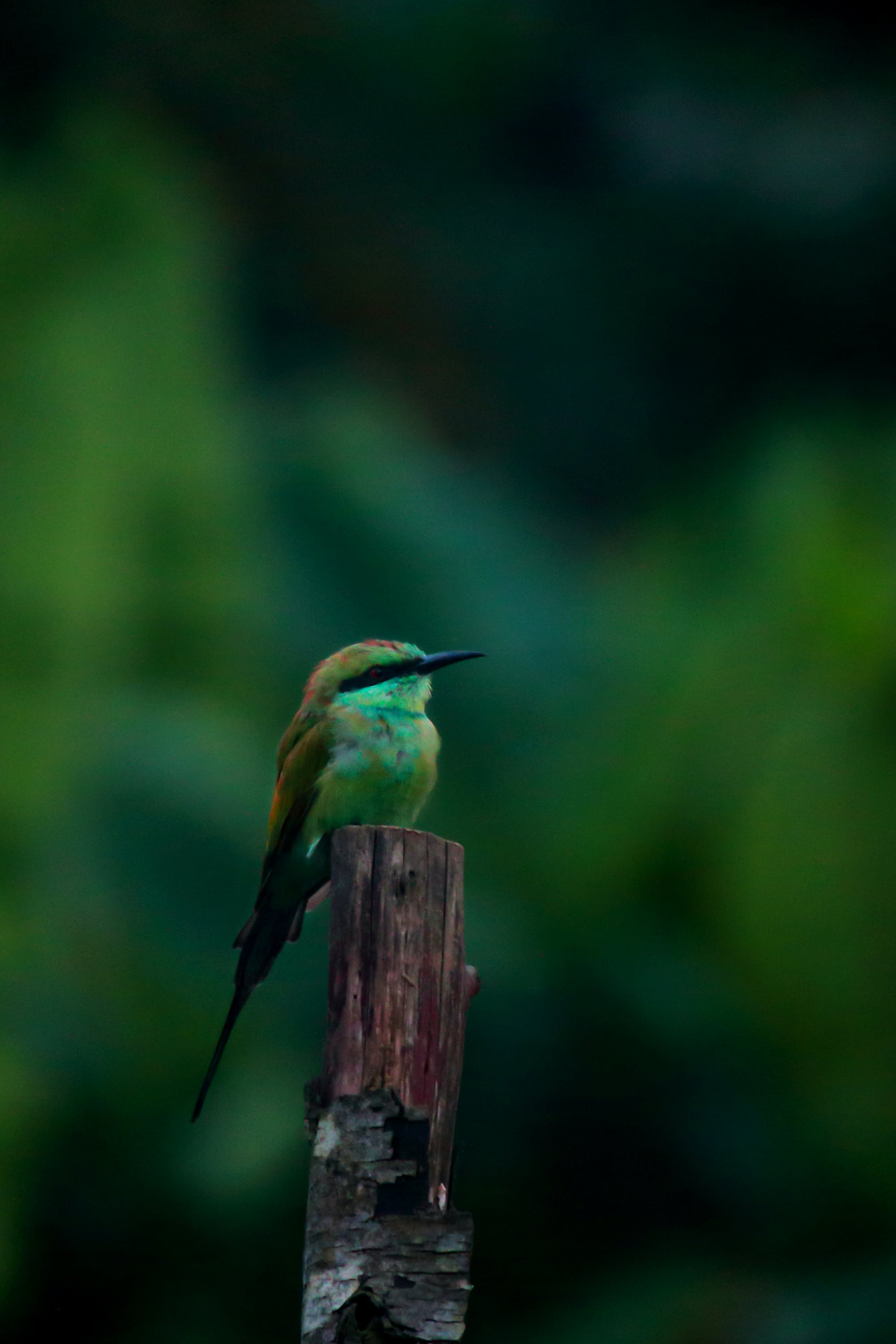 Free stock photo of asia, Bee Eater, bee-eater, bird