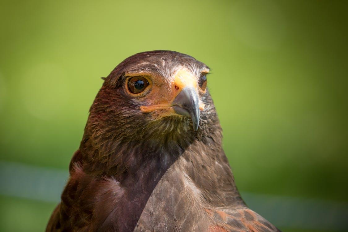 animal, brown, hawk