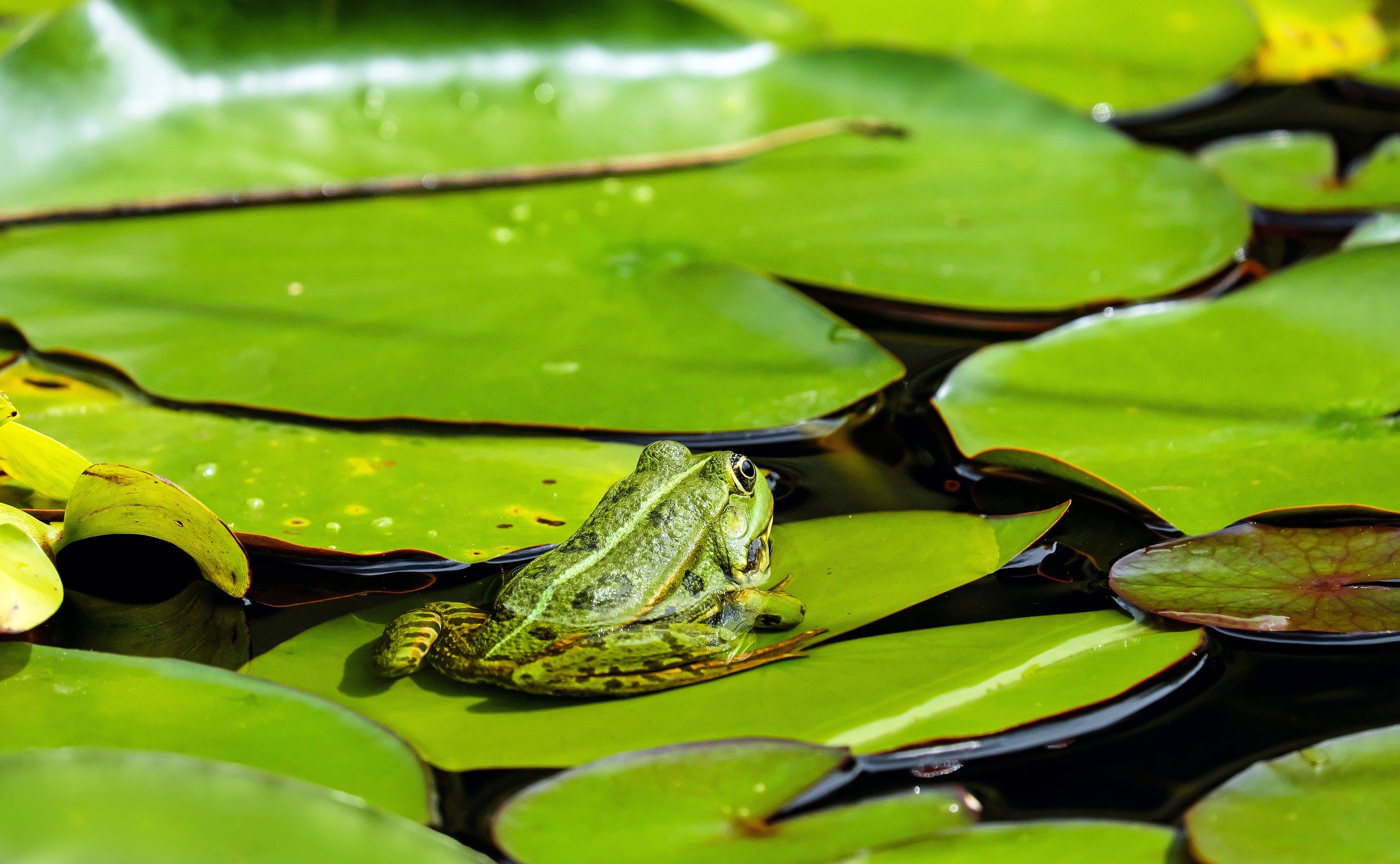 Kostnadsfri bild av amfibie, djur, flora, groda