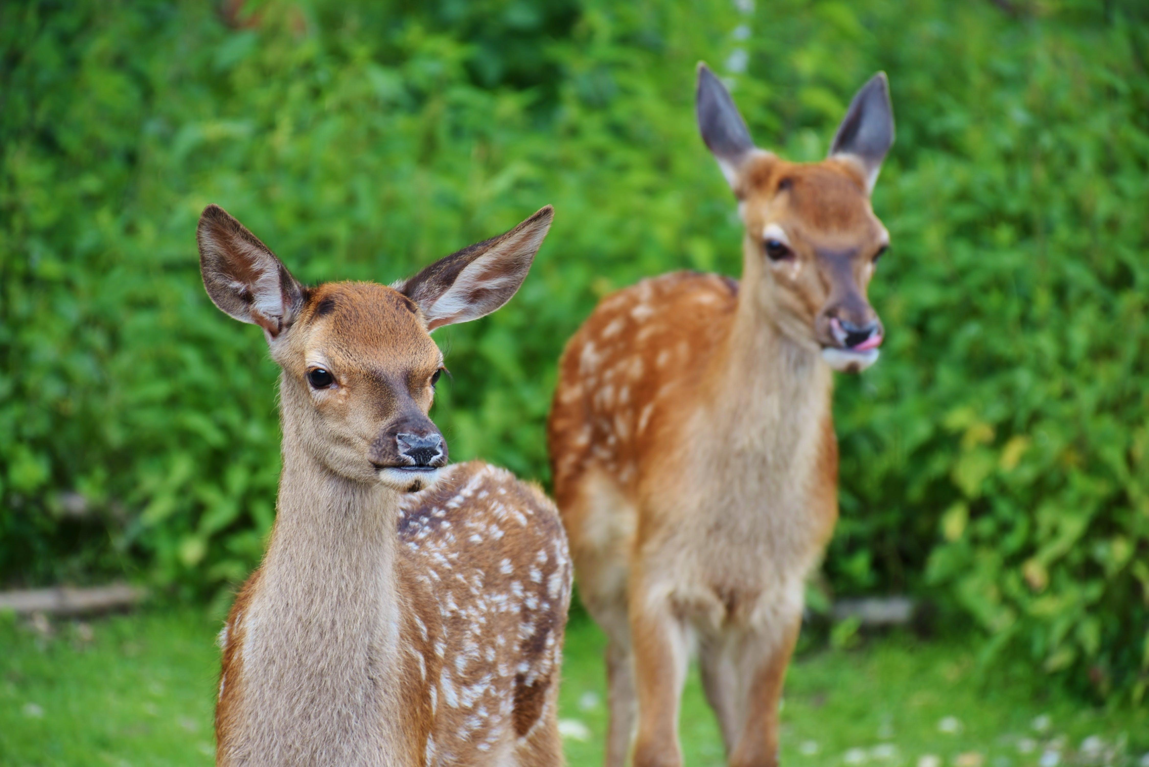 Kostenloses Stock Foto zu gras, hirsch, jung, jungtier