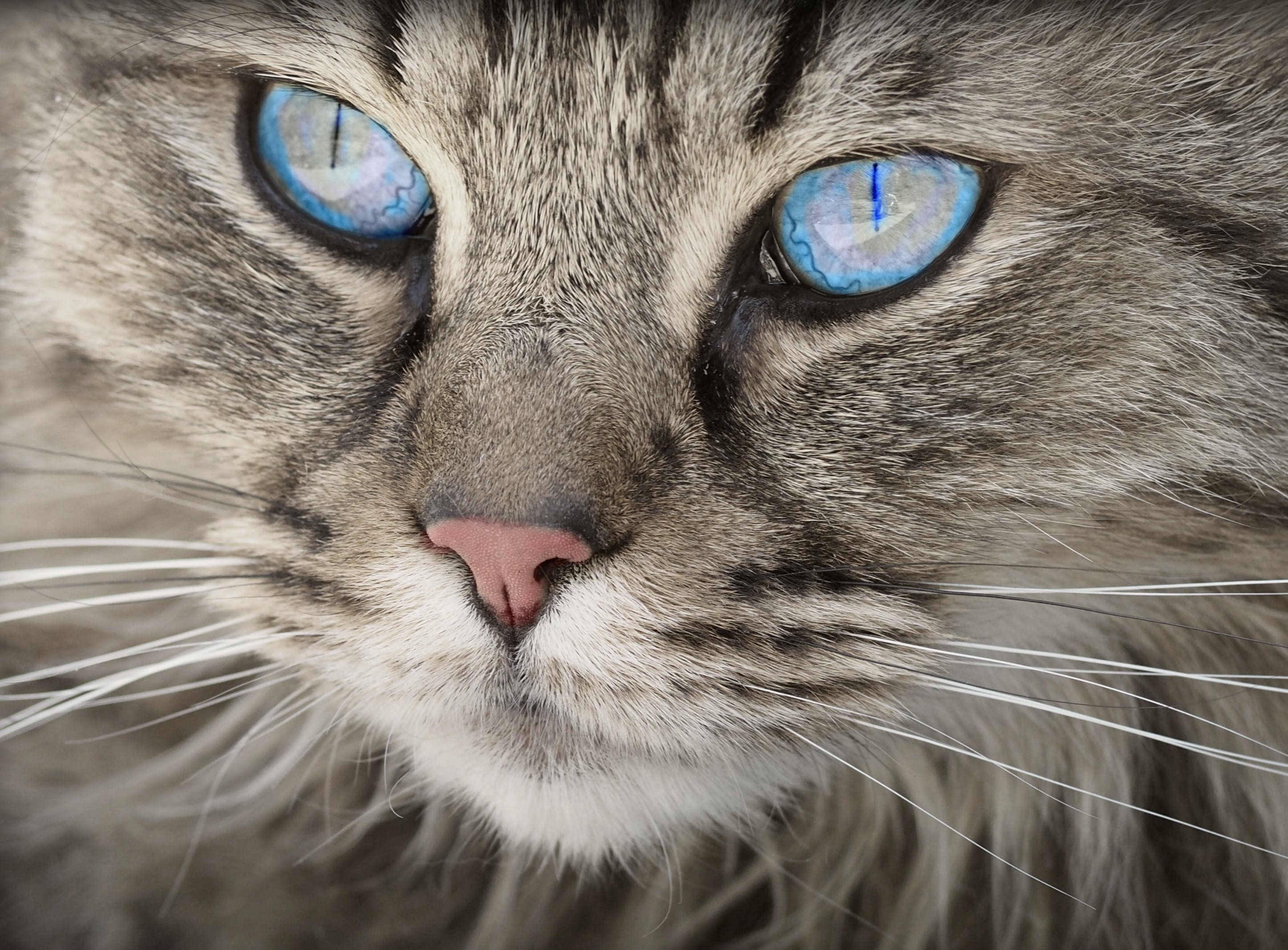 Blue Eyed Grey Tabby Cat