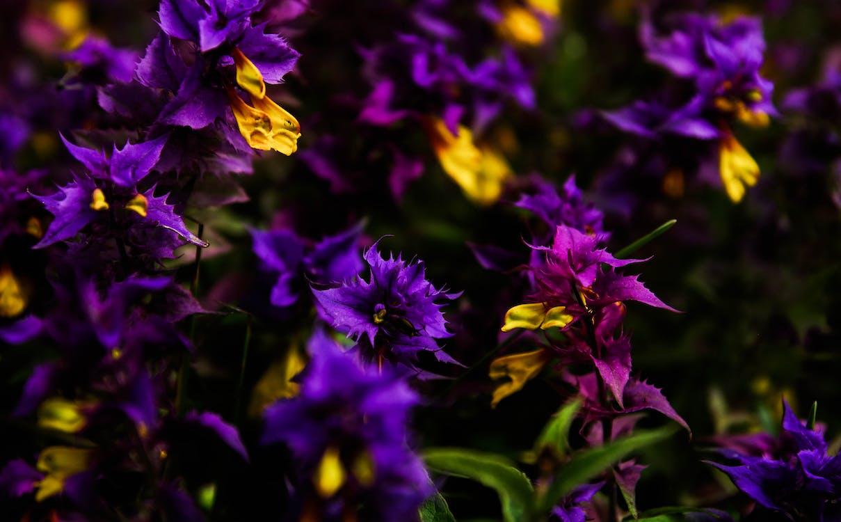 fioletowy, flora, jaskrawy