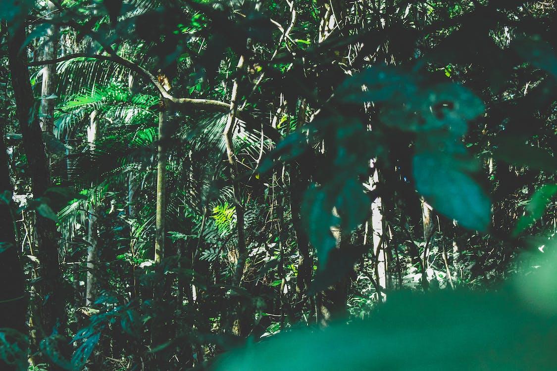 Brazil, cây, chi nhánh