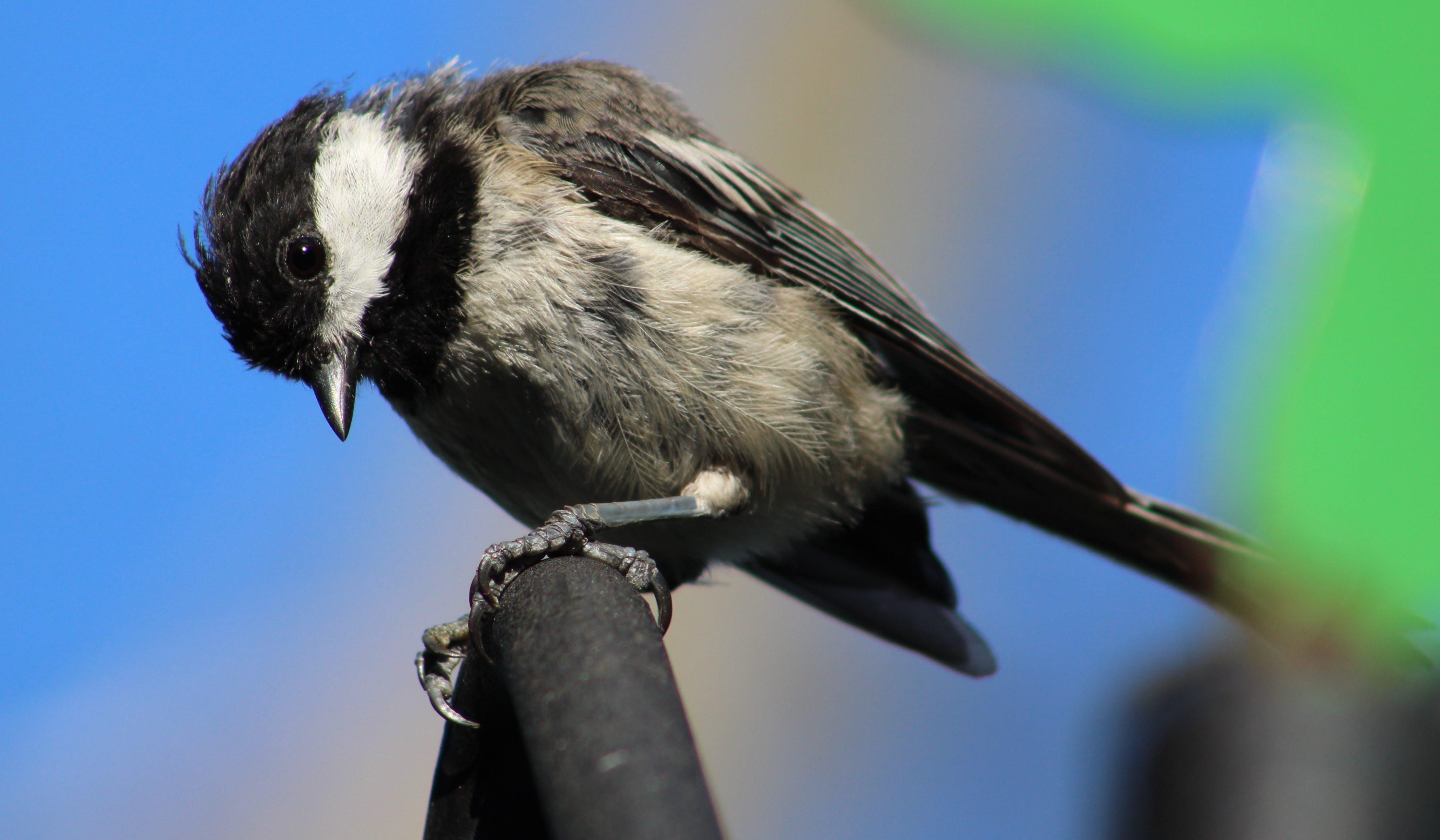 Free stock photo of bird, black and white bird, black-capped chickadee, chickadee