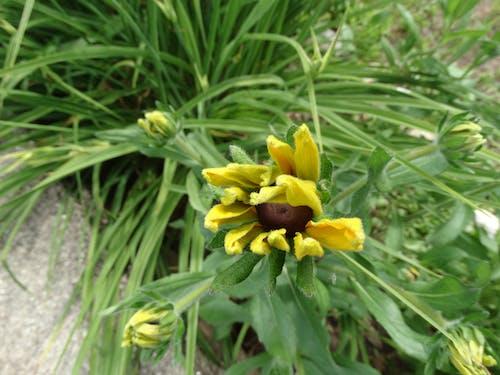 Darmowe zdjęcie z galerii z dziki kwiat, kwiat, pączek kwiatu, słonecznik