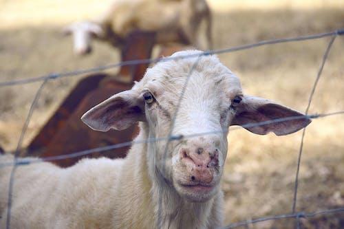 動物, 山羊, 草, 農場 的 免费素材照片
