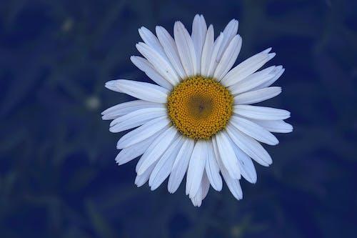 ayrıntı, Beyaz çiçek, beyaz papatya içeren Ücretsiz stok fotoğraf