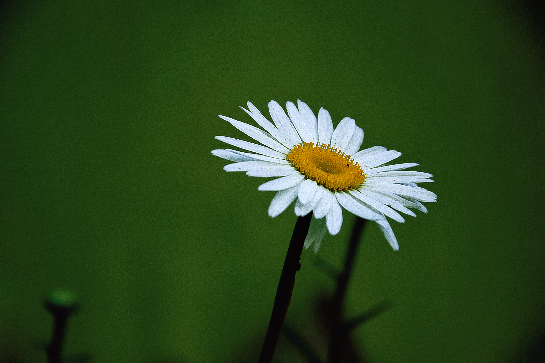 Yellow and White Daisy Flower