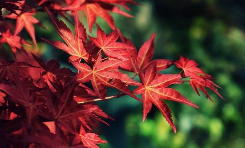 Photos gratuites de arbre, feuilles d'érable, macro, saison