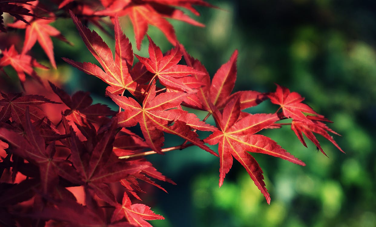 Photo Of Red Leafed Tree