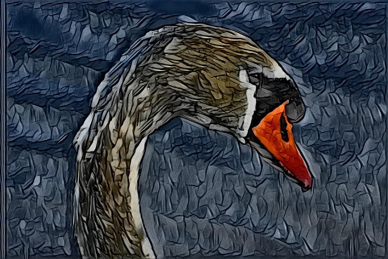 Free stock photo of swan, white swan, swan head, swan in the water