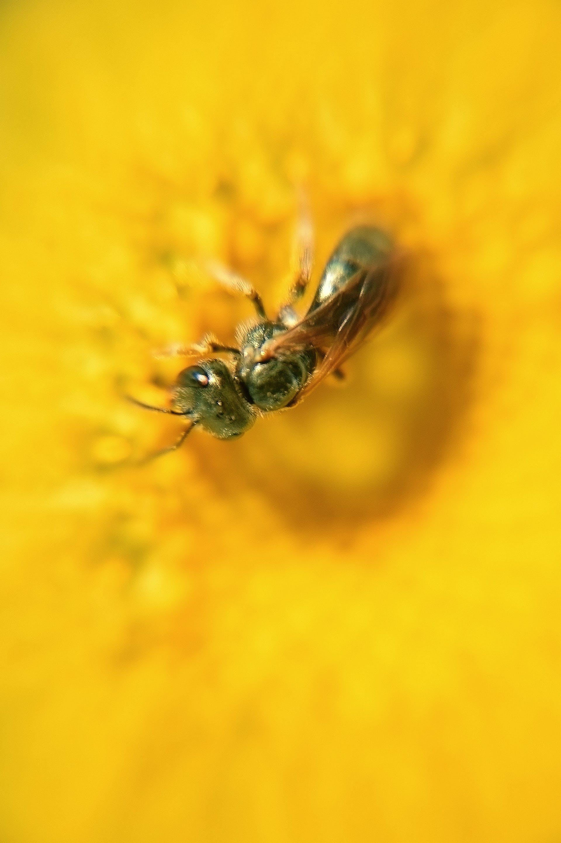 Macro Photo of Black Wasp Perched on Yellow Flower