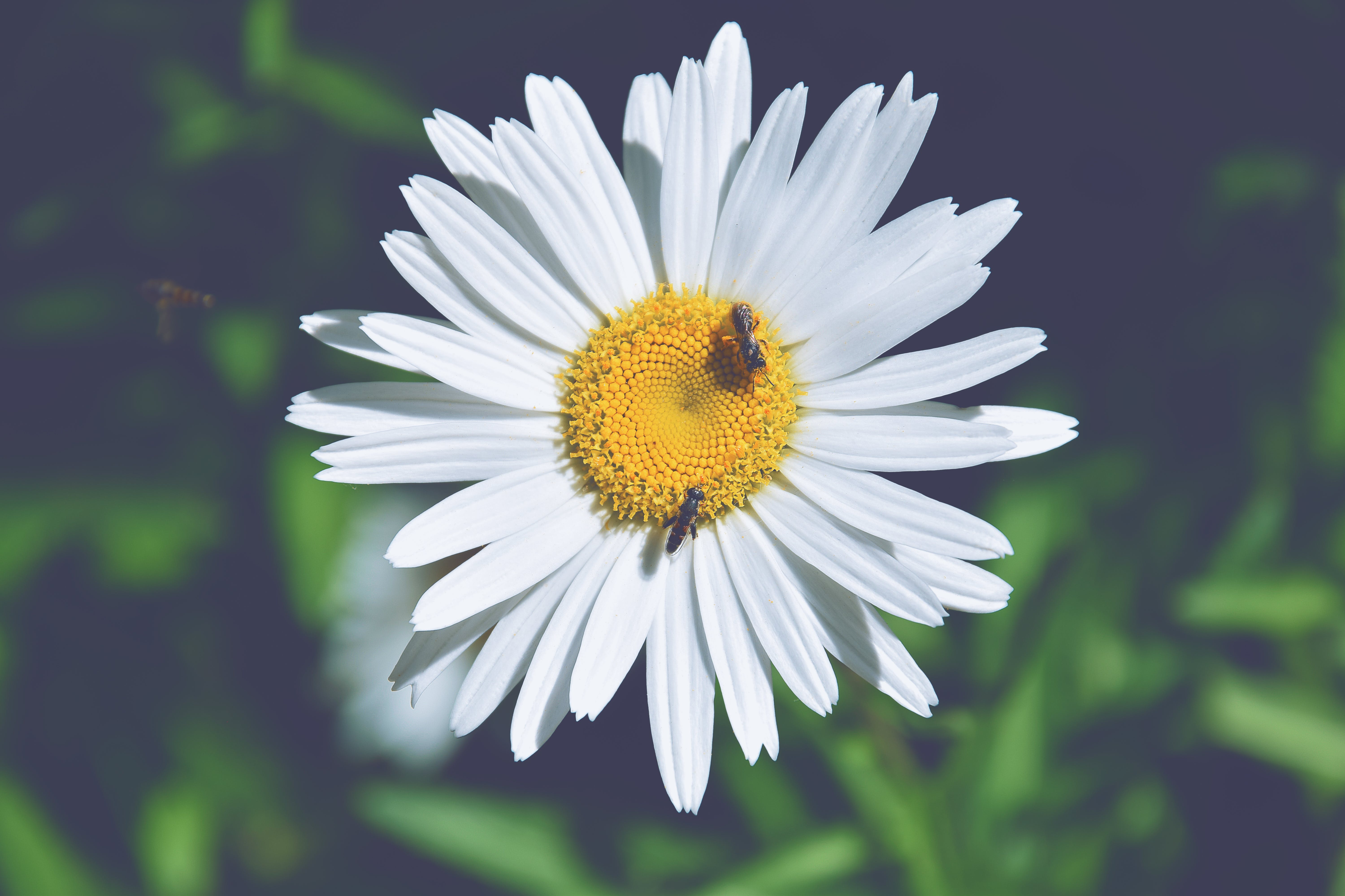 Two Bees Perching on White Daisy Flower