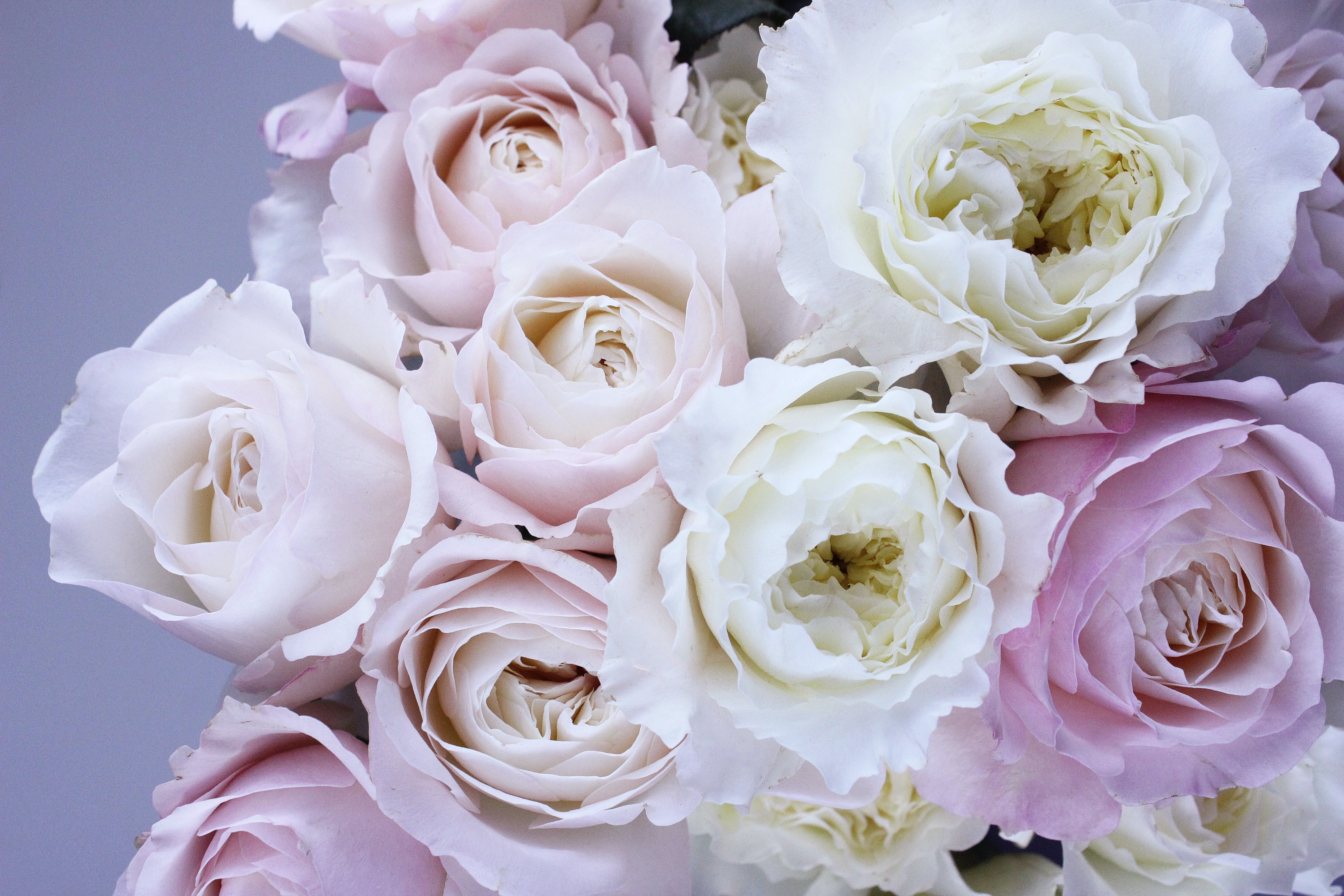 1000 great white rose photos pexels free stock photos related searches rose roses flower mightylinksfo