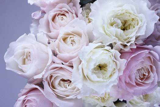 Free stock photo of flowers, petals, bouquet, roses